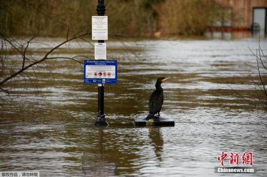 """当地时间2月26日,受风暴""""西娅拉""""和""""丹尼斯""""影响,英国什罗普郡河水暴涨形成洪灾。图为一只鸟站在什罗普郡什鲁斯伯里镇渔场的标志旁。"""