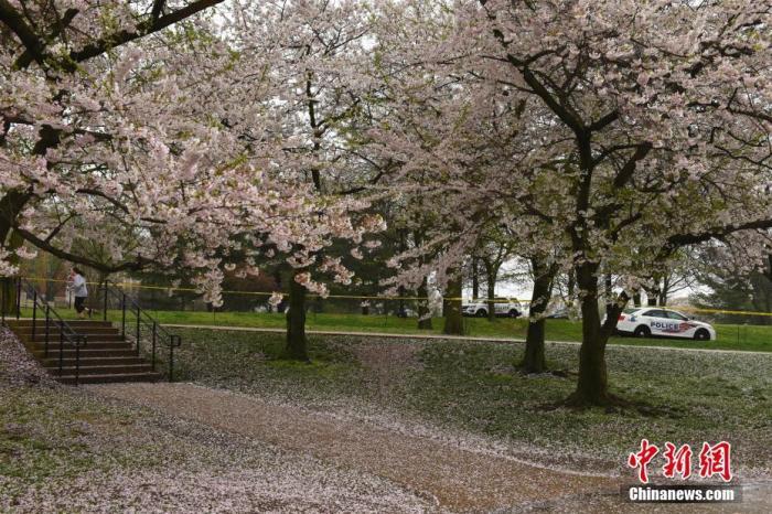 为避免密集的赏樱人群造成疫情扩散,华盛顿市长鲍泽日前下令,封锁了华盛顿赏樱热门景点――潮汐湖一带所有的道路。 中新社记者 陈孟统 摄