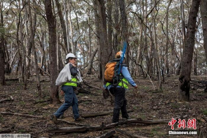 当地时间3月23日,澳大利亚新南威尔士州,动物保护组织工作人员将山火中获救的考拉放归森林。