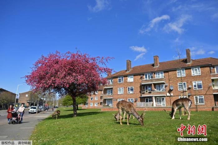 """内地时间4月4日,英国执行""""社交疏离""""法子期间,一群小鹿走上伦敦陌头。图为小鹿在草坪上大嚼青草。"""