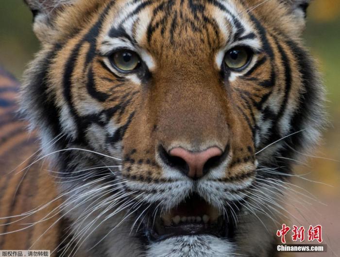 当地时间4月5日,美国纽约市布朗克斯动物园发声明称,该动物园里一头老虎的新冠病毒检测结果呈阳性。布朗克斯动物园称,检测结果得到了美国农业部国家兽医服务实验室的证实。美国农业部称,这是全球首例老虎感染新冠病毒的病例。