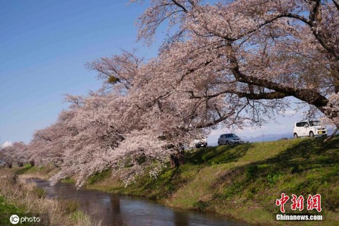 为妆点东京奥运 他们拟用雪将樱花开花时间延至夏季图片