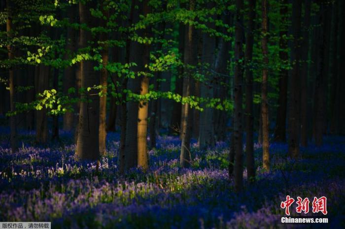 """当地时间4月16日,比利时哈雷市附近著名的""""蓝森林""""哈勒博斯中,风信子(bluebells)盛开成一片花海,给森林铺上了蓝色的地毯,宛如人间仙境,因为春季盛开的风信子,这片位于比利时中部的森林拥有了""""蓝森林""""的美称。"""