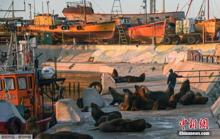 资料图:当地时间4月16日,阿根廷布宜诺斯艾利斯以南约400公里的马尔德普拉塔,由于新冠疫情期间实施封锁措施,马尔德普拉塔港的街道上出现一群海狮。图为日出时分马尔德普拉塔港的海狮。