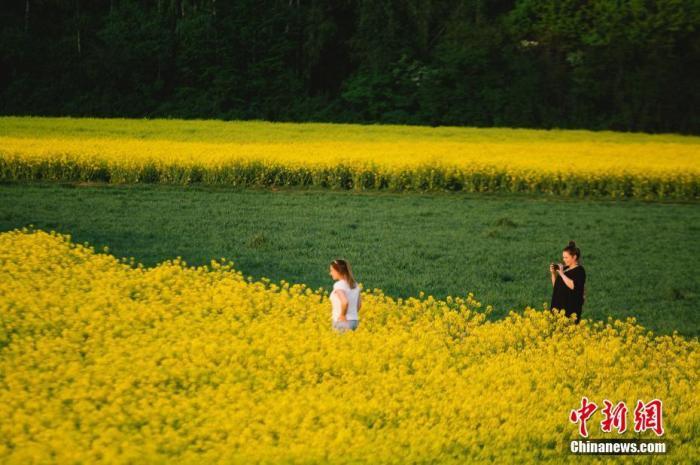 资料图:当地时间4月16日,德国科隆油菜花盛开,黄色的花田与翠绿的植物相间。图片来源:视觉中国