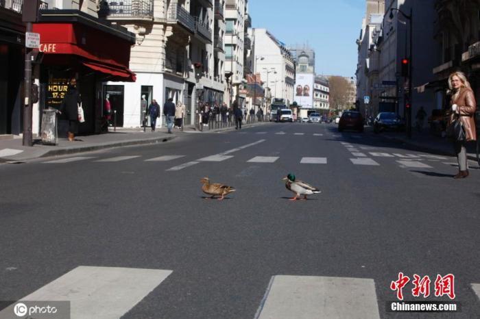 3月30日,法国巴黎,塞纳河里的野鸭上岸后跑到空荡荡的街道遛弯。图片来源:ICphoto