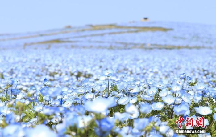 资料图:当地时间4月15日,日本茨城县,日立海滨公园内盛开的粉蝶花。 图片来源:视觉中国