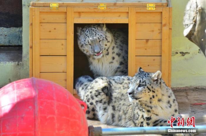 """4月27日,青藏高原野生动物园内的双胞胎雪豹嬉戏玩耍。青藏高原野生动物园当日消息,中国现存唯一一对人工繁育成活双胞胎雪豹目前已满11个月,两者各项身体指标稳定,身体健康,园区安排它们于""""五一""""前与游客见面。 /p中新社记者 鲁丹阳 摄"""