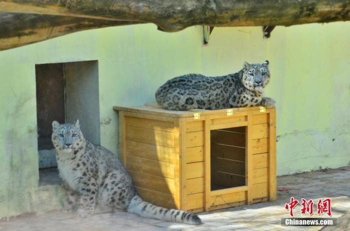 """4月27日,青藏高原野生动物园内的双胞胎雪豹。青藏高原野生动物园当日消息,中国现存唯一一对人工繁育成活双胞胎雪豹目前已满11个月,两者各项身体指标稳定,身体健康,园区安排它们于""""五一""""前与游客见面。 /p中新社记者 鲁丹阳 摄"""
