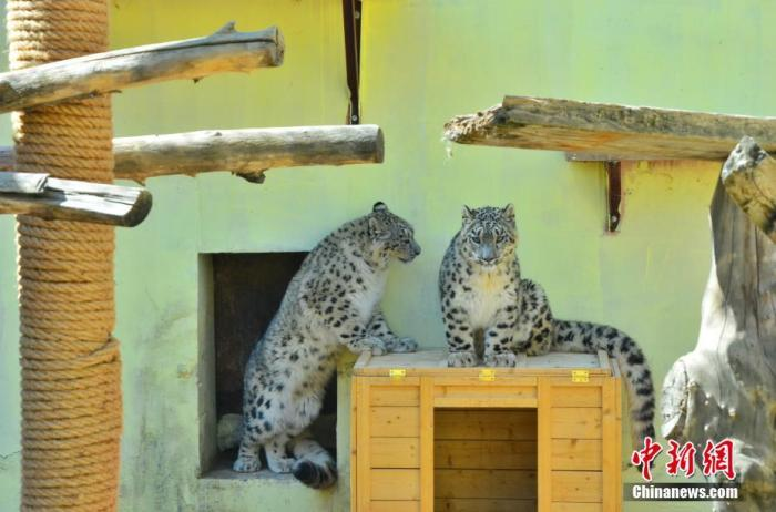 """4月27日,青藏高原野生动物园内的双胞胎雪豹嬉戏玩耍。青藏高原野生动物园当日消息,中国现存唯一一对人工繁育成活双胞胎雪豹目前已满11个月,两者各项身体指标稳定,身体健康,园区安排它们于""""五一""""前与游客见面。"""