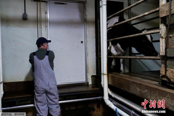 当地时间4月28日,原由私塾、餐馆和咖啡店关闭,牛奶价格下跌,美国奶农被迫倾倒失踪有余的牛奶。图为奶牛在挤奶中。