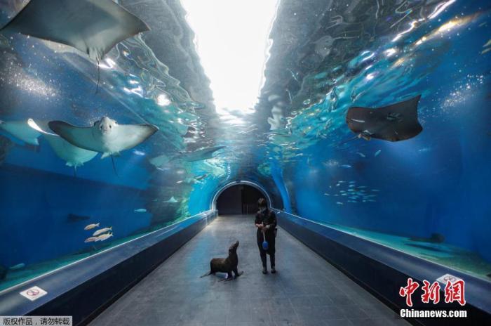"""当地时间4月30日,日本品川水上公园因受到新冠肺炎疫情影响暂时关闭。关闭期间,海狮和饲养员一起""""漫步""""海洋馆,这也是品川水上公园在疫情期间的特殊表演项目。"""