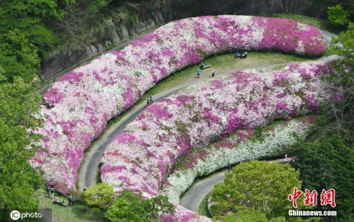 资料图:当地时间5月9日,日本大阪,一条约为500米长的道路两旁开满杜鹃花,粉色鲜花地毯美如画卷。 图片来源:ICphoto