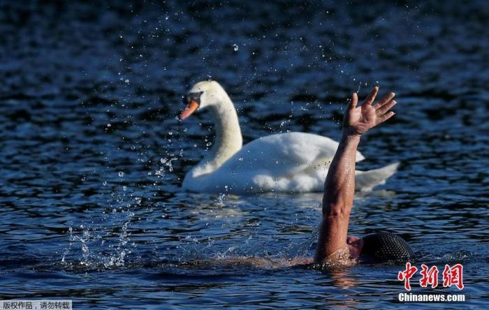 当地时间5月18日,海德公园正式开放,一名游泳者从天鹅旁边游过。