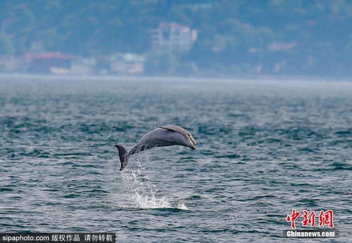 5月21日消息,近日土耳其伊斯坦布尔受新冠疫情全球大流行影响,渔业和航运停业,土耳其伊斯坦布尔博斯普鲁斯海峡没有了往日的拥挤,一群海豚正难得地在这条著名水道中畅游。Sipaphoto版权作品 禁止转载