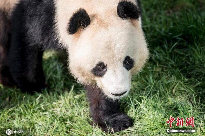 """当地时间6月8日报道,居住在丹麦首都哥本哈根动物园的大熊猫""""星二"""",爬上2米多高的」栏杆,并 嗡钻过层层防护网,跑出熊猫屋,后来被动物园的看守员发ω现。图片来源:ICphoto"""