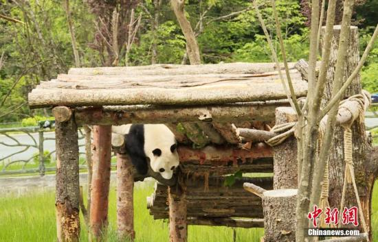 Twin giant panda cubs die of unknown allergy