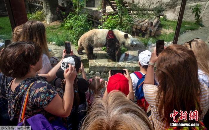 当地时间6月16日,俄罗斯莫斯科动物园重新开放,园内大熊猫被游客围观拍照。