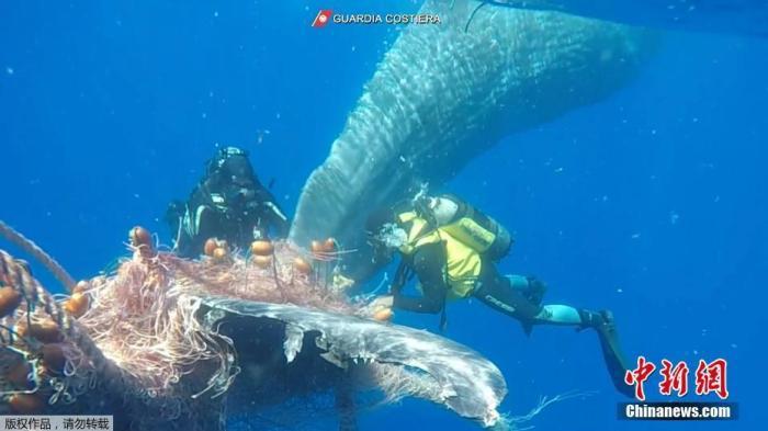 资料图:一头鲸鱼被渔网缠住,相关人员在水下切断渔网帮助鲸鱼重获自由。