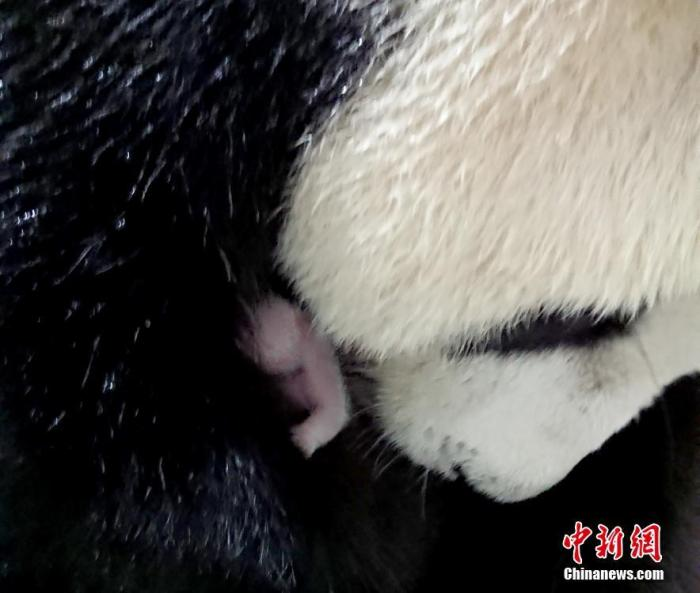 """大熊猫""""圆圆""""再次产仔背后:两岸科研人员24小时""""云交流"""""""