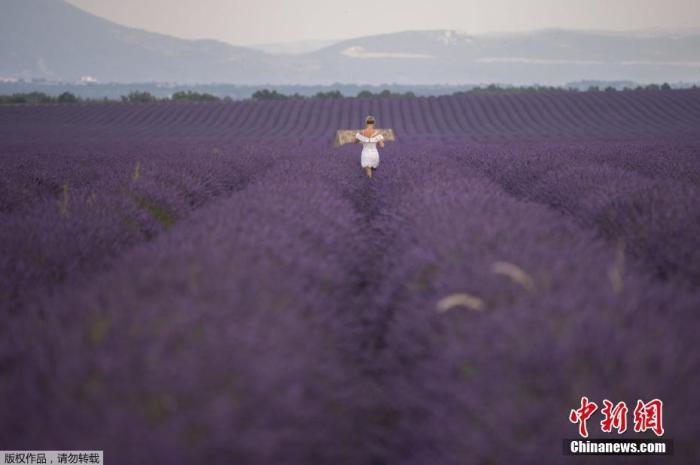 资料图:当地时间7月1日,法国南部Puimoisson薰衣草绽放,田野间形成一片紫�色花海。