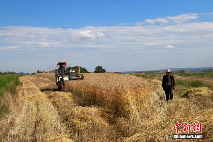 """7月上旬,在甘肃省平凉市崆峒区多地小麦种植区,连片的小麦迎来收割季,麦田在微风下浮动涌动""""金色麦浪"""",麦香弥漫黄土高原。农民们用机械和手工的方式""""抢收""""辛苦种植了半年的粮食。 万小莲 摄"""