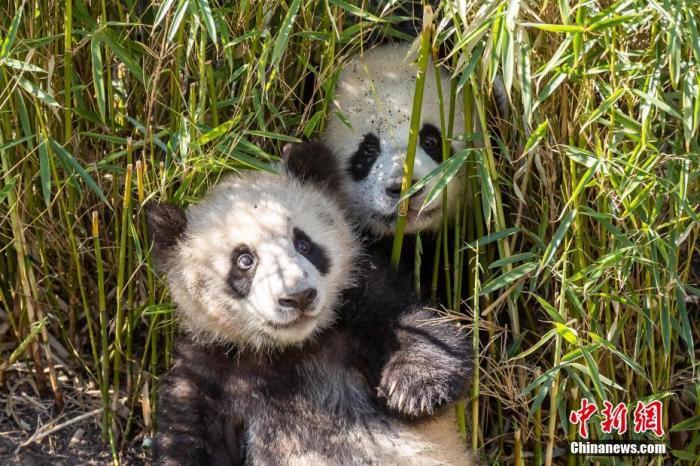"""图为大熊猫双胞胎""""梦想""""(后)和""""梦圆""""(前)在一起。(2020年4月资料图片) <a target='_blank' href='http://www.chinanews.com/'>中新社</a>发 柏林动物园 供图"""
