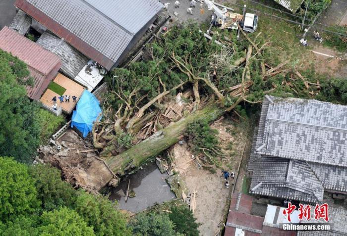 """当地时间2020年7月12日,日本岐阜县,当地神社里倒地的""""神木""""。近日受连日大雨影响,11日晚,日本岐阜县瑞浪市的大湫神明神社内,树龄约1300年的杉树连根倒地。这棵树高约40米,被当地供奉为""""神木"""",是岐阜县县内指定的纪念物。神树倒地还造成附近房屋损毁。 图片来源:视觉中国"""