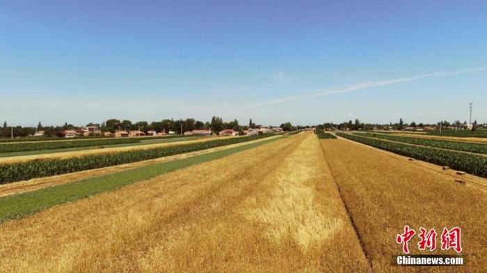 资料图:冬小麦。 宗瑛 摄