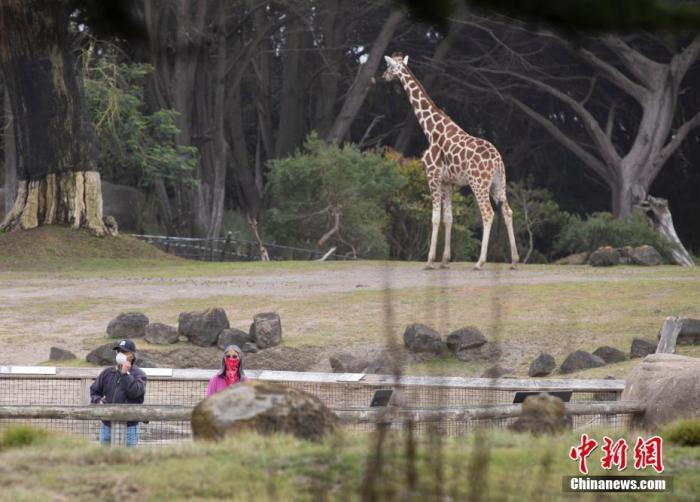 """当地时间7月13日,游客在美国加利福尼亚州旧金山动物园参观。当日,这家动物园在关闭近四个月后重新开放。游客需提前预约,在游览期间要与他人保持""""社交距离"""",两岁以上的游客需佩戴口罩。 中新社记者 刘关关 摄"""