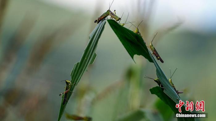 资料图:蝗虫在啃噬玉米叶 /p中新社记者 康平 摄