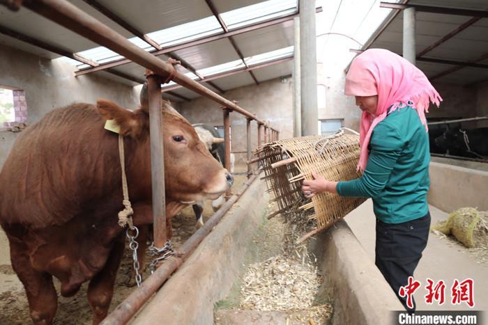 """宁夏和牛,有说不清的缘分。这个中国西部内陆省区,虽然面积不大,却有奶牛和肉牛两大产业,成为当地人脱贫致富走向高质量发展的""""幸福密码""""。在当地政府的支持下,许多村民选择通过养牛来改善生活,现如今养牛已成为宁夏西海固地区当之无愧的脱贫支柱产业。图为5月11日,宁夏中卫市海原县,农户在自家牛棚喂牛。 <a target='_blank' href='http://www.chinanews.com/'>中新社</a>记者 于晶 摄"""