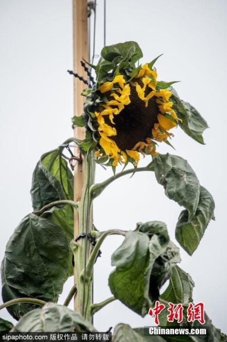 图为道格拉斯在自家庭院里播种了向日葵种子,并在疫情封锁期间悉心照料它。如今,这株向日葵已长到了6米左右。图片来源:Sipaphoto版权作品 禁止转载