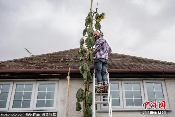 7月31日消息,现年42岁的道格拉斯·史密斯有一个4岁的儿子,因为儿子想要一株很高的向日葵,3月份,道格拉斯在自家庭院里播种了向日葵种子,并在疫情封锁期间悉心照料它。如今,这株向日葵已长到了6米左右。图片来源:Sipaphoto版权作品 禁止转载