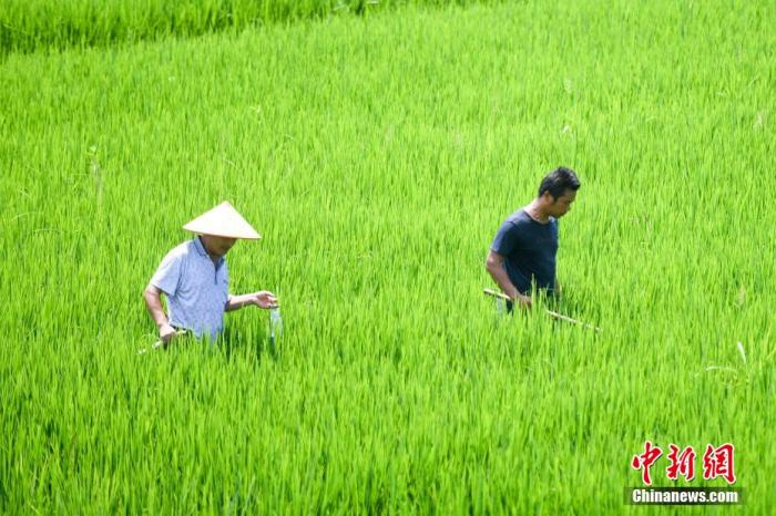 资料图:8月4日,湖南岳阳防汛大堤旁的稻田。 杨华峰 摄