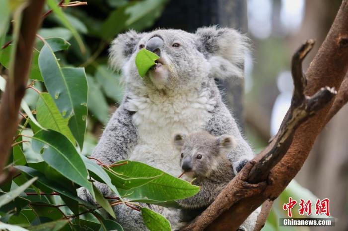 澳大利亞新州將建國家公園 以保護考拉棲息地