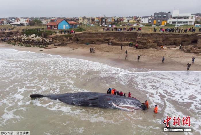 当地时间8月8日,阿根廷布利诺斯艾利斯,当地民众试图将一只搁浅的鲸鱼放回大海,但鲸鱼不幸死亡。