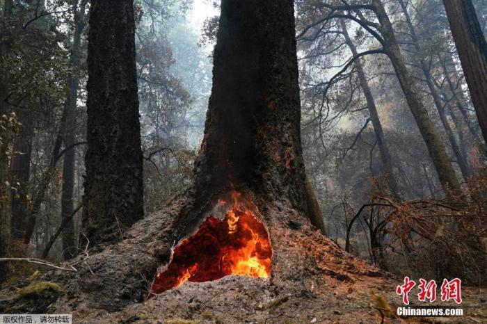 资料图:当地时间8月24日,美国加州大盆地红杉州立公园,山火在一颗红杉树的树洞里燃烧。据报道,美国加州山火当日蔓延至红杉林,但大部分红杉树仍然屹立不倒。据悉,加州大盆地红杉州立公园内部分红杉树树龄已超过2000年。