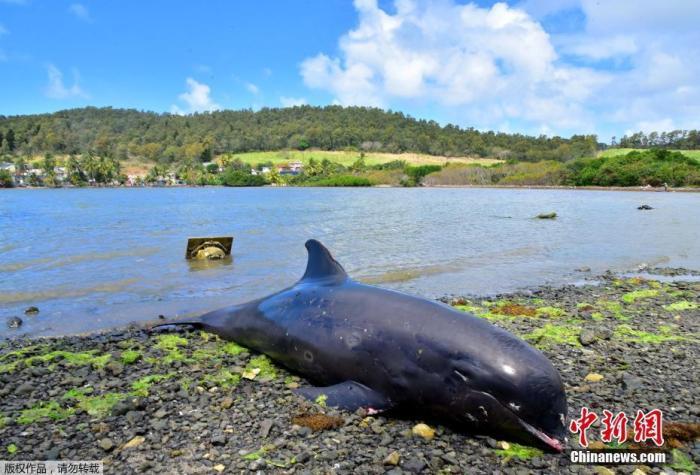 据路透社报道,当地时间27日,毛里求斯一名政府官员表示,在毛里求斯一处海滩又发现了七只海豚的尸体。此前一天,在距离日本货轮发生燃油泄漏事故现场附近,有17只海豚尸体被冲上了海岸。图为被冲上岸的海豚尸体。