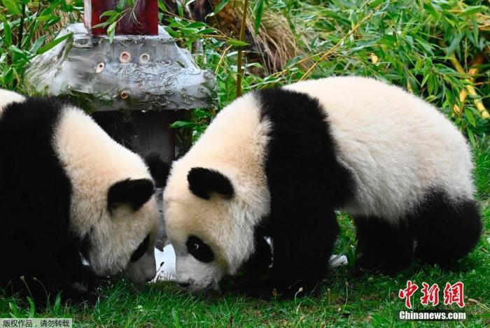旅德大熊猫双胞胎在柏林度过一周岁生日