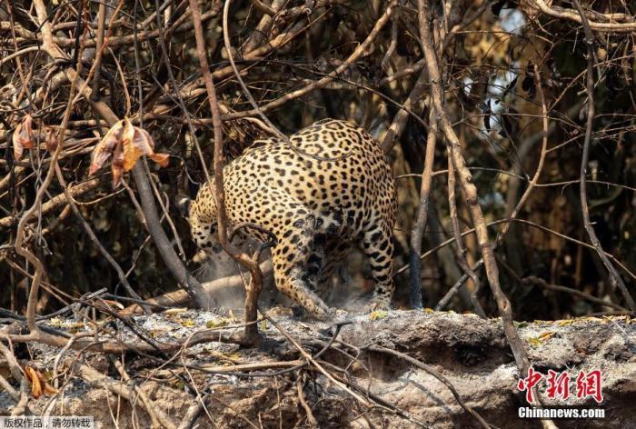 警惕!研究:过去500年 拉美地区近六成哺乳动物消失图片