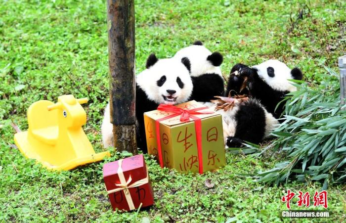 9月16日,中国大熊猫保护研究中心在卧龙神树坪基地幼儿园为2019年出生的大熊猫宝宝举办生日会。图为生日会现场。 安源 摄