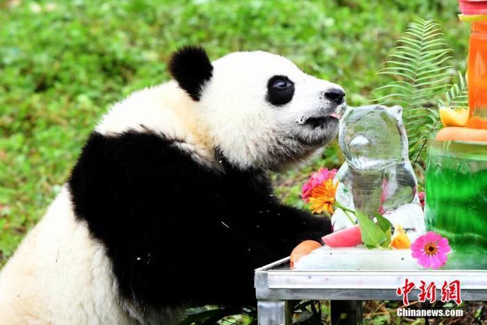 资料图:品尝生日蛋糕的大熊猫宝宝。 安源 摄