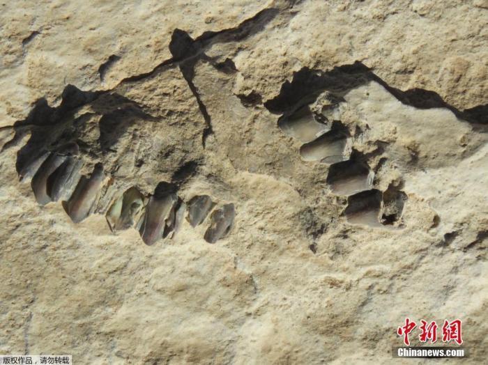 当地时间9月16日,沙特遗产委员会向外界宣布,考古学家在沙特北部塔布克地区发现距今12万年前的人类和动物足迹,这也是迄今为止在阿拉伯半岛上发现的最古老人类活动痕迹。沙特遗产委员会负责人在当天的记者会上透露,考古团队经过长达超过十年的研究,共发现属于7个早期人类、107头骆驼、43只大象和其他一些动物的足迹,同时发现233块动物化石,表示这一发现有助于了解早期人类在阿拉伯半岛和沙漠地区迁徙和定居的历史。