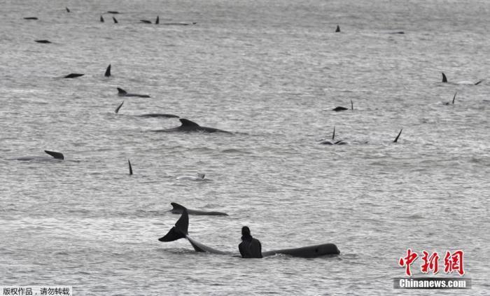 约380头领航鲸在澳大利亚塔州西海岸搁浅后死亡图片