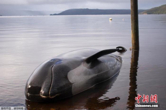 心痛:新西兰再现鲸鱼搁浅事件 近20头已死亡(图)