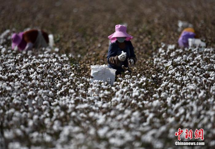 资料图:拾棉工在棉田内采摘棉花。 确·胡热 摄