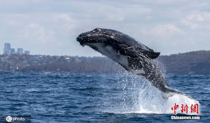 南非沿岸鲸数量持续下降 生态学家称因海洋生态变化图片