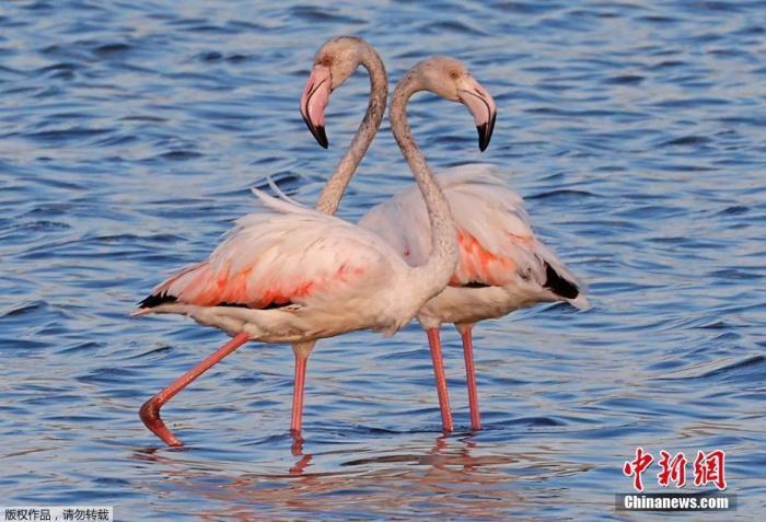 痛心!因非法狩猎,希腊多只火烈鸟被铅弹毒