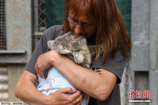 Wild koala populations continue to decline in key areas: Australian study